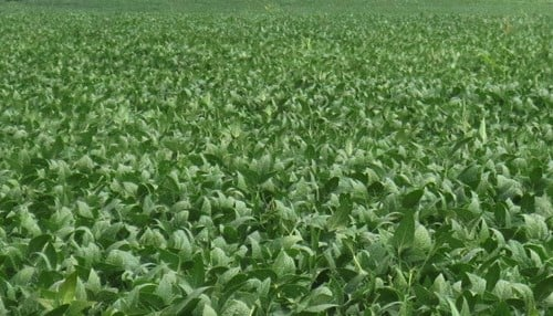 (Image of soybean field courtesy of Purdue University)