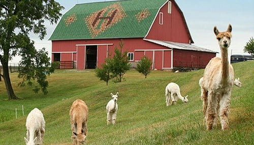 (Image of the Sheets family barn and alpacas courtesy of Indiana Landmarks)