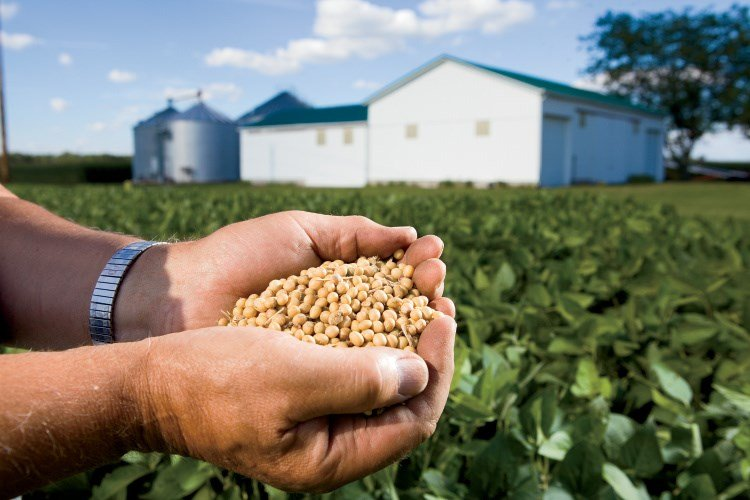 Indiana ranks fourth nationally for soybean production. (Photo courtesy: Indiana Soybean Alliance)