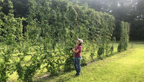 The hops growing system will be shipped to customers in a single box for about $600.
