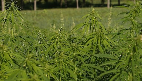 (Industrial hemp photo courtesy of Purdue University)